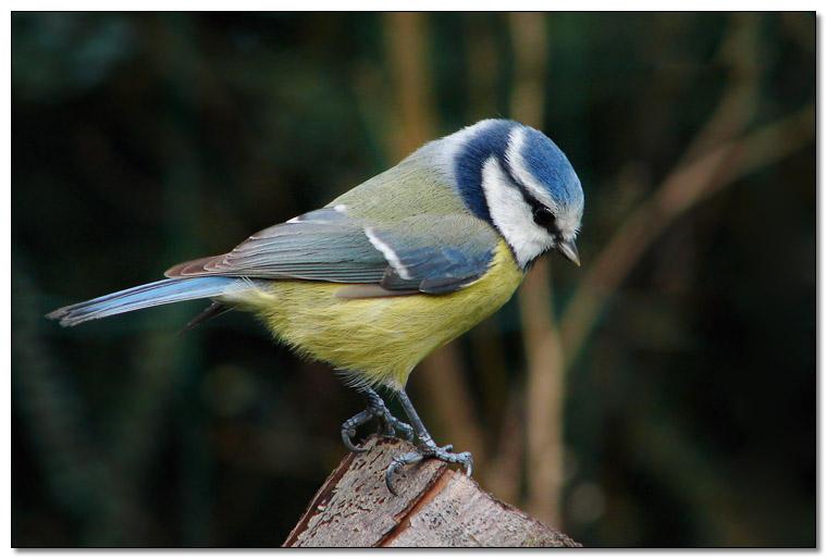 Topic ornithologique ! ♥ Mesange-bleue-parus-caeruleus-740